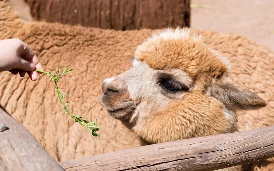 Peru: The Llama Farm